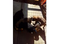 Puppies, pugidale and jack Russell
