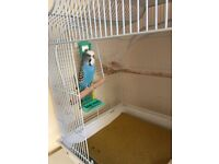 Budgie, cage and accessories for sale