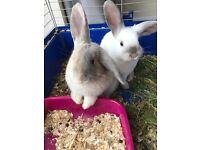 2 lovely mini lops with cage and Accessoires