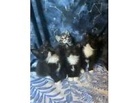 Kittens ready today DELIVERY MAY BE AVAILABLE