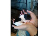 Beautiful Tiny Jack Russell Puppies forsale KENT
