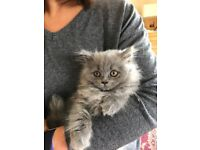 Female British Blue Kitten Long Haired Varient