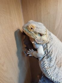 Mature female Bearded lizard and setup with accessories