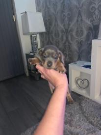 Blue n tan daschound pups for sale