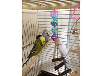 Budgies, cage and stand