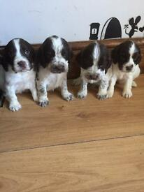 Sprocker Spaniel puppies
