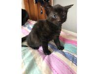 Kitten female ready to go WEMBLEY