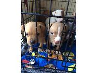 Staff puppies.