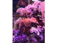 Red mushroom coral only £30