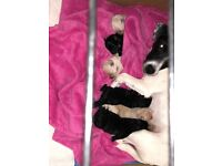 We have 6 beautiful Jack-A-Poo puppies for sale, 2 dogs and 4 bitches