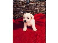 Beautiful crossed Shizu / Jack russel puppies