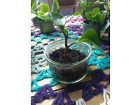 Baby Pilea Obtusifolia Plants