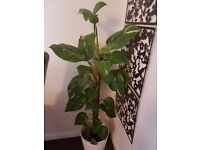 Money plant/ devils ivy in great condition