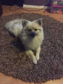 1 year Pomeranian female
