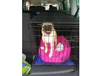 Pug cross for sale to a good home