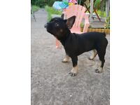 Black tan puppy for sale
