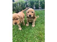 Beautiful cocker spaniel puppies