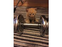 Ginger kittens ready to new homes