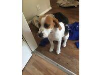 PEDIGREE beagle puppy for sale