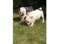 2 beautiful British bulldog pups for sale