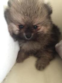 Pedigree Pomeranian Puppy