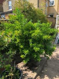 Japanese spindle evergreen shrub plant