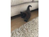 Beautiful long hair male kitten for sale £75