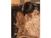Female king snake