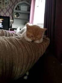 Gorgeous ginger male kitten