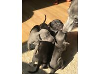 Gorgeous Lurcher Puppies for sale