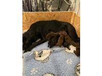 Chocolate and black Labrador puppies
