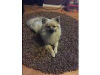 1 year Pomeranian for sale