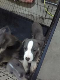 Blue staffs pups boys 11weeks old ready