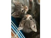 Grey Tabby Kittens Abyssinian x British Blue