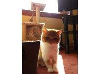Male + Female Exotic Shorthair Kittens 9 Months old