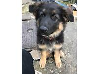 German shepherd puppy SOLD !!