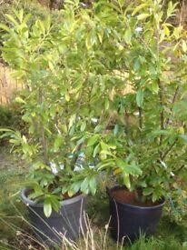 Cherry laurel instant screen hedge large plant prunus novita