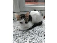 Two kittens, british short hair. Male and female. Playful. Litter trained.ready to be collected.