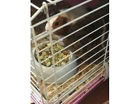 2 Female Guinea Pigs & Cage