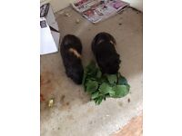 2 female Guinea Pigs for re-homing