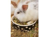 4 beautiful mix breed rabbits for sale