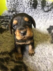 Cockerterrier puppies for sale