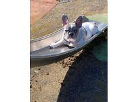 French bulldog Merle female 8 months old