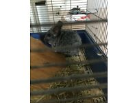 2 Chinchillas looking for good home