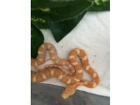 Snakes for sale £25