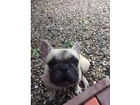 Full breed fawn French bulldog