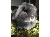 Pure mini lop rabbit