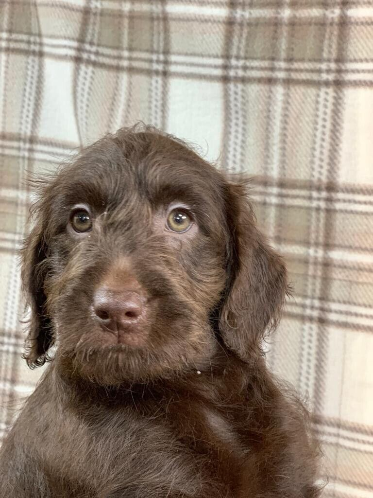 1 Boy Left Ready Now Miniature F1 Labradoodle Puppies In Wakefield West Yorkshire Gumtree