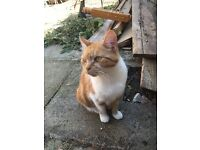 Ginger & white female cat to a good home