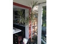 Large variegated house palm plant